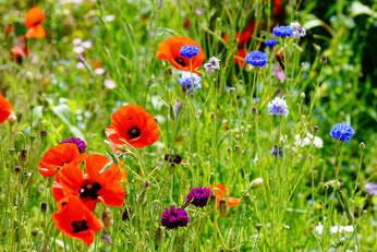 Blühwiese mit Klatschmohn und Kornblumen, Foto: Sabrina Kowsky