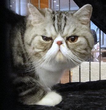 Exotic Shorthair Katze, Foto (privat) aufgenommen auf einer FIFé Katzenausstellung in Valencia, 09.2012