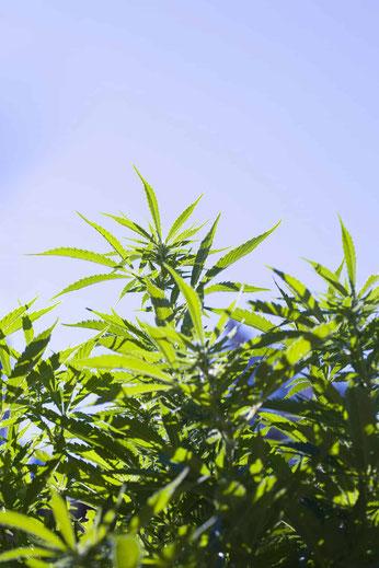 Cannabis Anbau auf einem offenen Feld