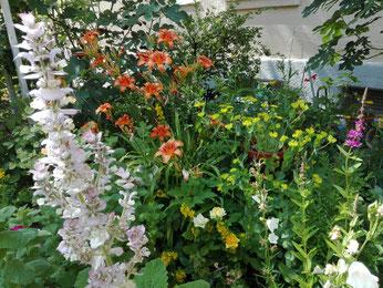 Musaktellersalbei in voller Blüte.