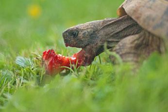 Griechische Landschildkroete frisst Erdbeere