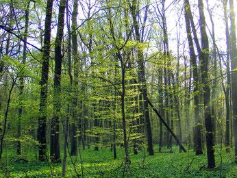 Eine Naturverjüngung der typischen Auwaldbaumarten fndet nicht statt. Im Unterstand findet man vorwiegend Ahorn. Foto: Christa Rasch