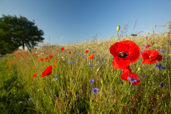 Blühende Ackerränder sind leider vielerorts verschwunden. Foto: NABU/Klemens Karkow