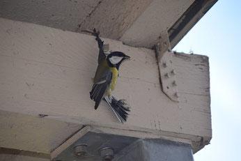 Diese Kohlmeise blieb an der Vogelabwehrpaste kleben und verendete qualvoll. Foto: NABU Leipzig