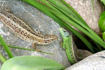 Weibliche Zauneidechsen sind braun gefärbt, die Männchen haben zur Paarungszeit grüne Körperpartien. Foto: Hansjürgen Gerstner