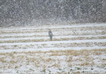 Graureiher im Schnee. Foto: Karsten Peterlein