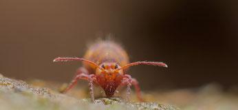 Springschwänze leben oft im Boden.  Foto: iDiv/Andy Murray