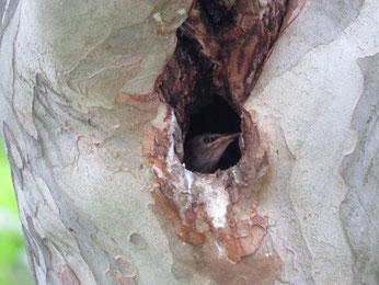 Jungstar in einer Baumhöhle an der Moritzbastei. Foto: Karsten Peterlein