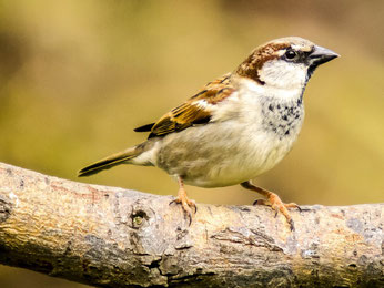 Der Haussperling ist erneut der häufigste Gartenvogel in Deutschland. Foto: NABU/Kathy Büscher