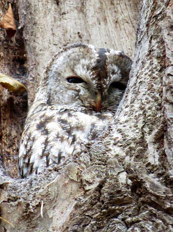 Ein Waldkauz zeigte sich am traditionenllen Tageseinstand. Mindestens 2 Jungvögel haben wir in diesem Jahr im Park beobachtet.
