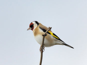 Eine der wenigen positiven Entwicklungen: Bei der Stunde der Gartenvögel wurde der Stieglitz öfter beobachtet. Foto: NABU/Tom Dove