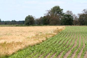 Der Anbau von Energiepflanzen hat eine negative Öko-Bilanz. Er führt unter anderem zum Verlust wertvoller Lebensräume und schadet dem Klima. Besonders dramatisch ist der Zuwachs an Maisäckern für die Biogasproduktion. Foto: NABU/Marco Sommerfeld