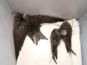 Vier junge Mauersegler konnten gerettet werden. Sie bleiben in der Wildvogelhilfe des NABU Leipzig, bis sie flügge sind.