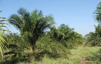 Wo früher Regenwald wuchs, erstrecken sich heute industriell bewirtschaftete kilometerlange Ölpalmenplantagen. Wertvolle Lebensräume werden für die Palmölproduktion zerstört. Foto: sarangib