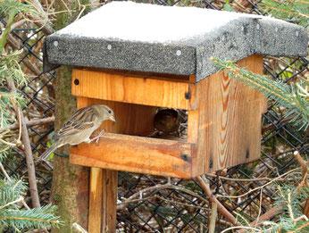 """Der häufigste """"Wintervogel"""" war auch in diesem Jahr wieder der Haussperling. Ein Bestandsrückgang ist dennoch zu beobachten. Der Verlust von Nistplätzen und von Insektennahrung zur Brutzeit macht sich hier bemerkbar. Foto: Karsten Peterlein"""