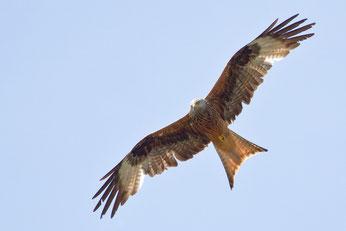 Am gegabelten, rötlichen Schwanz ist der Rotmilan im Flugbild gut  zu erkennen. Foto: NABU/Marco Frank