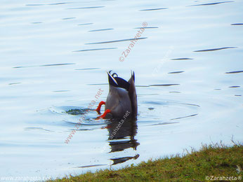 Ente kopfüber im Wasser
