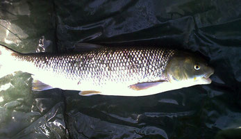 Der in der Donau im Machland gefangene Perlfisch.