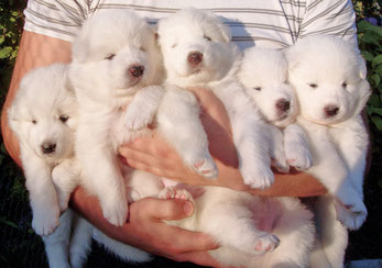 щенки самоеда - дети Буяна и Сейлы