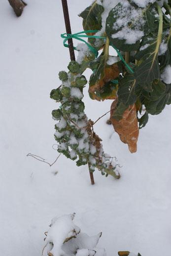 Kohlsprossen im Schnee