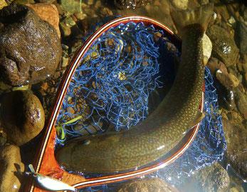 小渓流夏岩魚