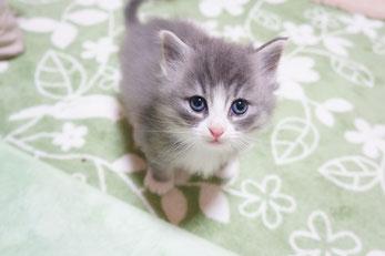 ノルウェージャンフォレスト子猫
