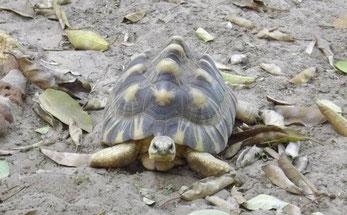 """Tortue de Madagascar en soins au """"Village des tortues"""" de Sangalkam, Sénégal"""
