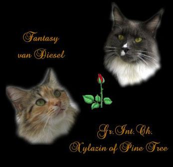 Maine Coon Katzen mit Rose