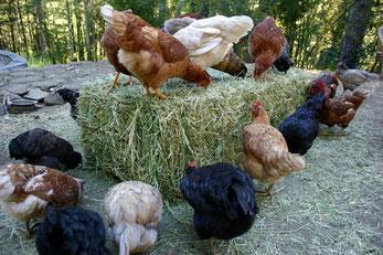 Feeding garden hens