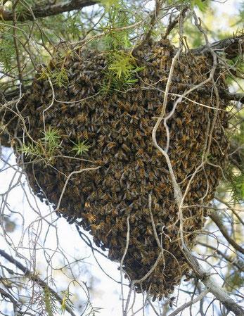 Essaim d'abeilles Les Ruchers de Bastien