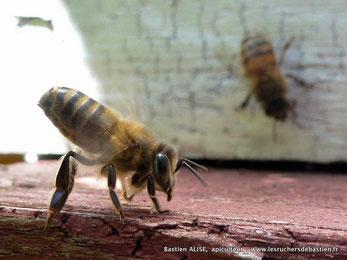 Une abeille en essaimage au rucher de Bastien dans les Cevennes