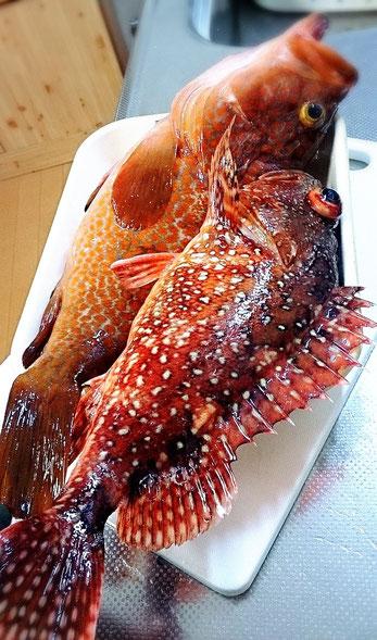 今日の釣果 アカミズ カサゴ