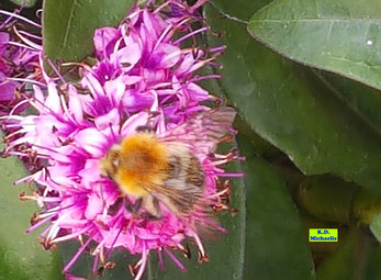 Dunkelrosa Blüte eines Wiesenknöterichs mit Wildbiene von K.D. Michaelis