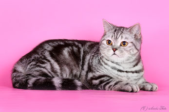 кошка скоттиш-страйт Серсея
