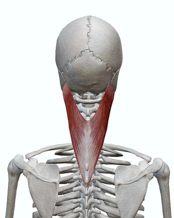 頭板状筋(後面)