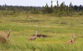 Une famille de sand hill crane