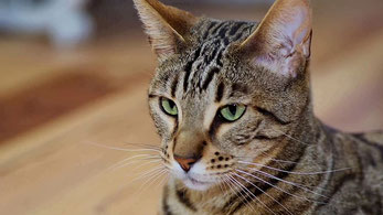 Sokoke Forest Cat