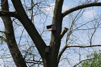 Turmfalkennisthilfe und Fledermauskasten