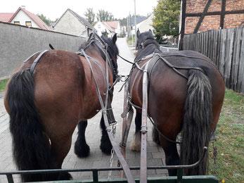 Pferde Kaltblüter Zugpferde Kutsche Planwagen Kremser Kremserfahrt Kutschfahrt Geschirre