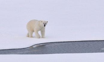 Polar bear POP substances bioacumulate