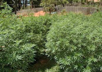 Cannabis Hanf Outdoor Anbau, Cannabis Plantage