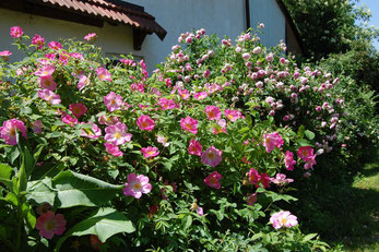 Alte Rosen Rosa Complicata