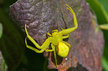 A Goldenrod Crab Spider in its bright yellow color phase.