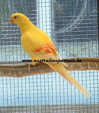 0-1  Lutino         jonge vogel