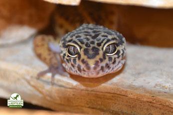 Leopardgecko Tierheim Auffangstation Reptilien München Baur