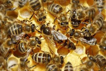 Bienenkönigin mit Hofstaat [zum Vergrößern bitte anklicken] Waugsberg - Wikimedia 2007