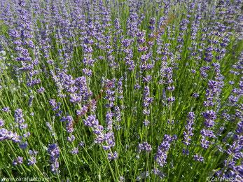 Lilanes Lavendelfeld im Sommer