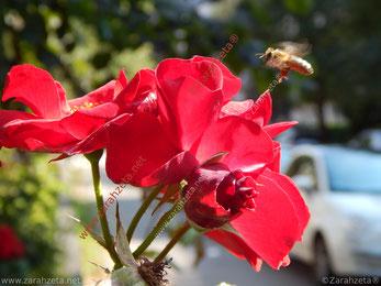 Biene an roter Blume