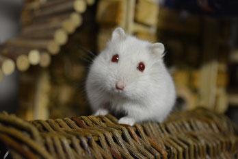 Hamsteropvang hamster hamsters