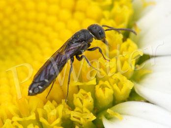 Bild: Keulhornwespe  (Parasit bei der Löcherbiene) an einer Margerite